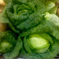 Savoy Cabbage myfavouritepastime.com