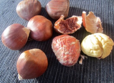 Chestnut -The nut is enclosed inside a glossy shell that is easy to pry open myfavouritepastime.com
